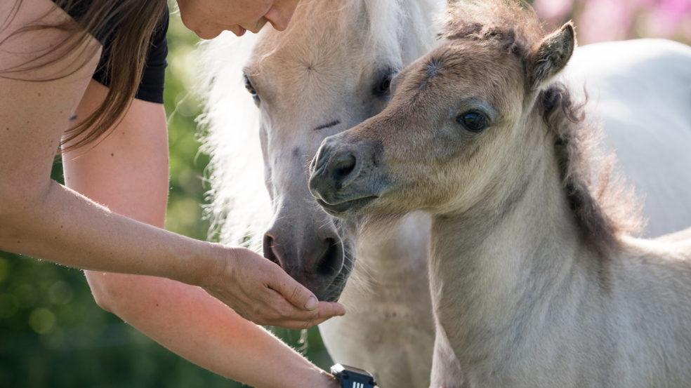 lukkarilan hevospalvelut suloinen ja pieni varsa saa huomiota