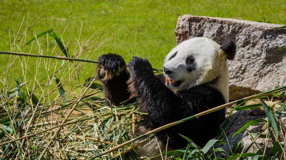 Ähtäri Zoo panda saa bambua mahan täydeltä