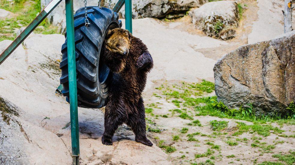 Ähtäri Zoo karhu leikkii renkaan kanssa