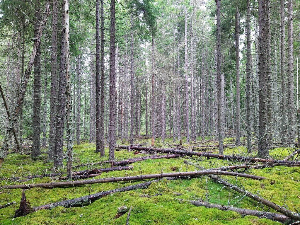 Lauhanvuoren kansallispuiston metsää